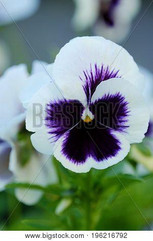 Beautiful white violet in the summer garden