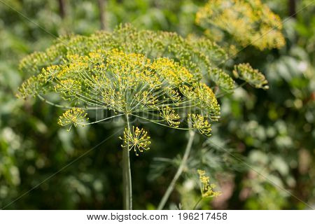Yellow flower of dill in the garden, yellow dill close up, summer day.
