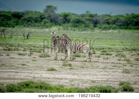 Two Zebras Fighting In The Grass.