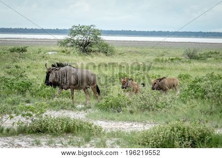 Group Of Blue Wildebeests Walking In The Grass.