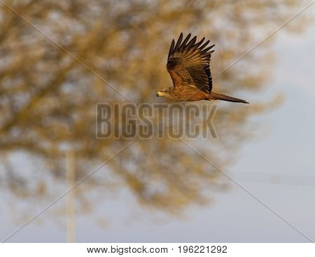 Common female kestrel falcon, falco tinnunculus, flying in front of a tree