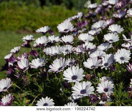 White and purple african daisy flowers at Doi Inthanon Thailand
