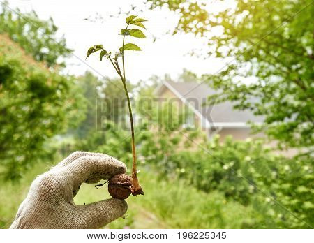 Hands of gardener in gloves holding small green plant of nut