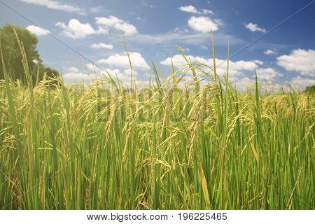 Ripe Rice Paddy Field