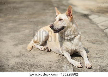 Young Yellow Dog Wait On Street