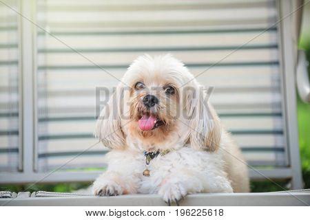 Shih Tzu Puppy Dog Relax On Seat
