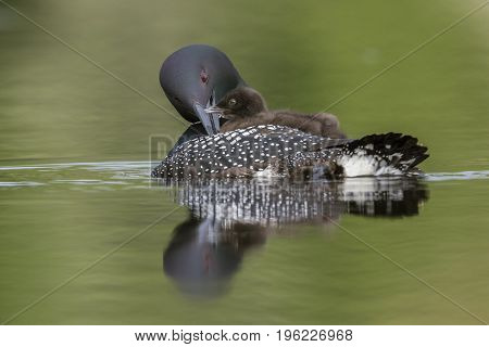 A Week-old Common Loon Chick Rides On Its Mother's Back While She Preens Her Feathers - Ontario, Can