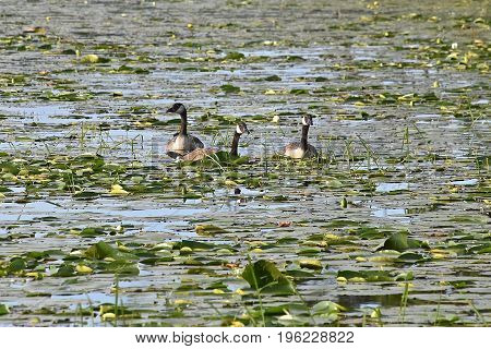 Three Canadian geese swim swim in a body of water with the lily pads