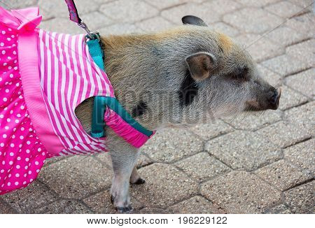 pet pig on leash with harness and pink striped dress going for a walk