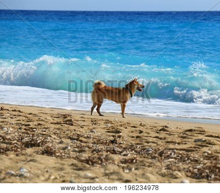 Yellow dog on the beach