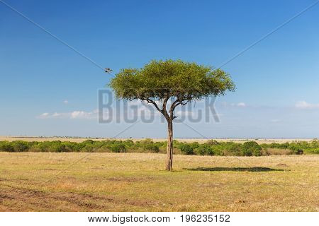birds of prey, nature and wildlife concept - eagle flying away from tree in maasai mara national reserve savannah at africa