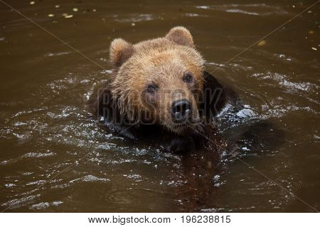 Kamchatka brown bear (Ursus arctos beringianus), also known as the Far Eastern brown bear swimming.