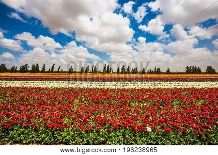 Magnificent multicolored flowering garden buttercups. Spring in Israel. Kibbutz field next to the Gaza Strip