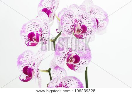 Purple and white Phalaenopsis orchids close up over white background
