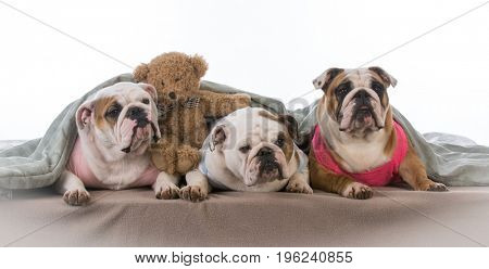 three dogs under the covers having a pajama party