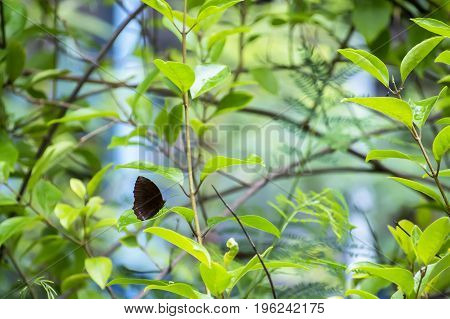 Black butterfly resting in a leafy green plants.
