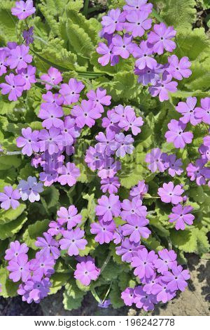 A close up of the flowers of primrose on flower-bed.