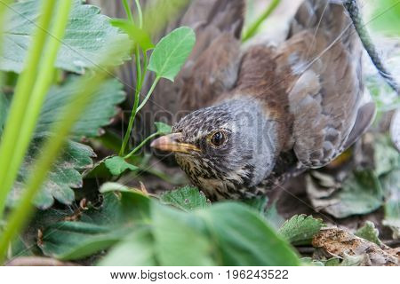Bird thrush stealing strawberries is caught in protective mesh close-up