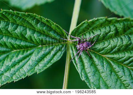 Summer landscape. Purple spider sitting on a green leaf, macro