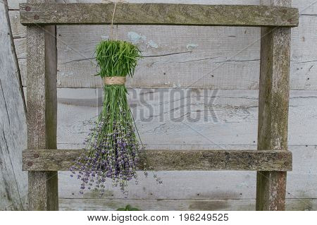 Bunches of lavender flowers on a wooden fence drying