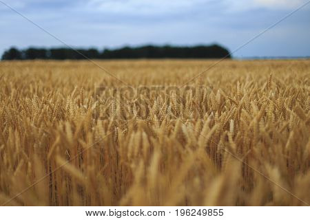 A Field Of Wheat with blue sky