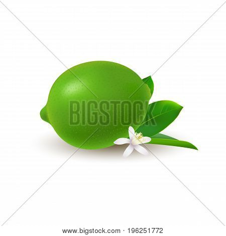 Isolated colored whole juicy lime with green leaf white flower and shadow on white background. Realistic citrus fruit