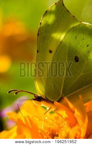 The common brimstone Gonepteryx rhamni is a butterfly of the family Pieridae. The common brimstone sits on a summer day on a flower and drinks nectar. Well visible butterfly proboscis.