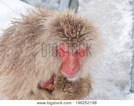 Mother Japanese macaque 'snow monkey' cuddling her baby in the cold near hot spring onsen at Jigokudani Monkey Park, Nagano prefecture, Japan.