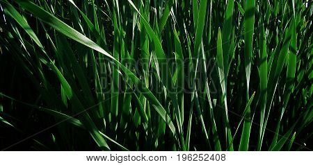 Reed. Green reed. Bulrush. Reed background. Bulrush background. Abstract image of green leaves of reeds. Green. Green background. Summer background.