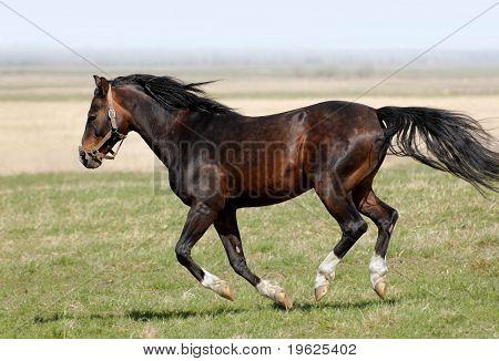 dappled horse