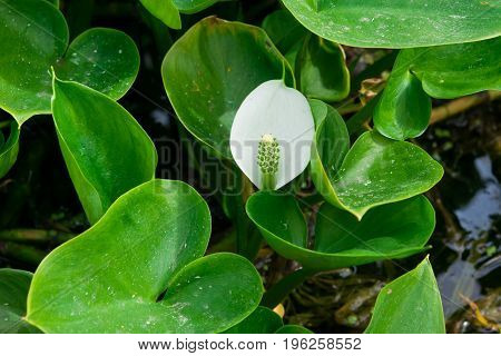 White flower with green leaves aquatic plants Calla swamp