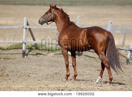 trakehner sorrel stallion poster