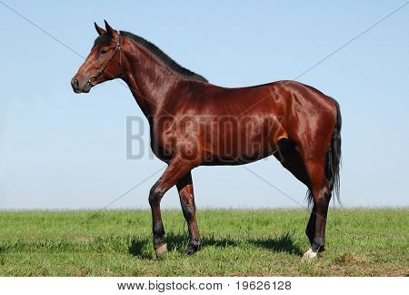 Oldenburger chestnut stallion