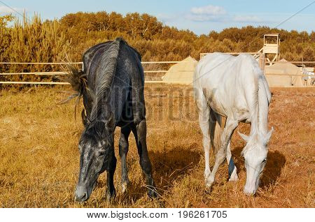 Two horses in the paddock on a background of autumn