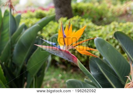 Tropical flower strelitzia or bird of paradise flower in Funchal on Madeira Island Portugal.
