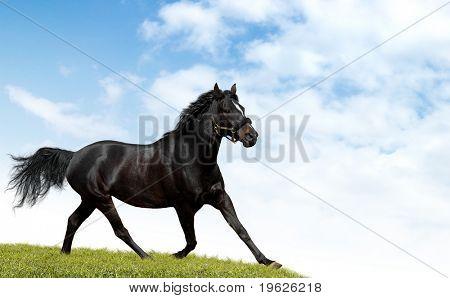 black horse trots