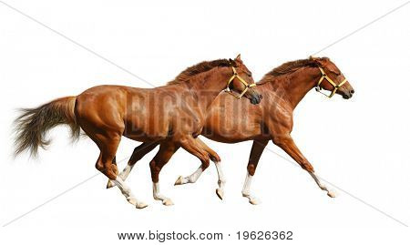 two sorrel foals gallop - isolated on white