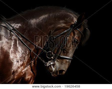 caballo de doma, negro - aislado en negro