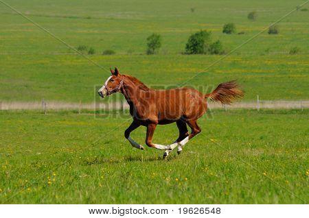 Sorrel horse gallops in field