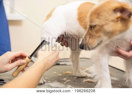 Hairdresser Mows Fur On The Paws Of Jack Russell Terrier