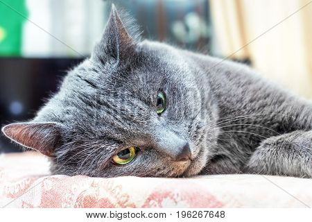 Nice adult gray cat lies in thought