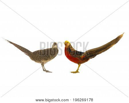 Female And Male Pheasant Gold