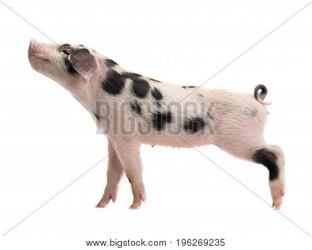 small pig on a white background. studio