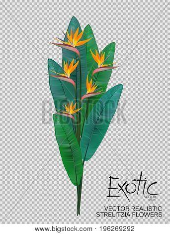 Bird of Paradise flowers on transparent background. Realistic strelitzia flowers bouquet. Vector illustration