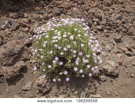 Flora of Tenerife Canary Islands - Pterocephalus lasiospermus scabious endemic to Tenerife