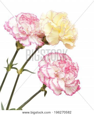 Pretty Pink  And Yellow Carnation Isolated