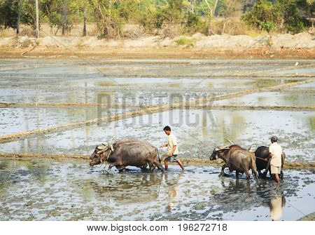 Maharashtra India - February 09 2016: Farmer is plowing a rice field with oxen