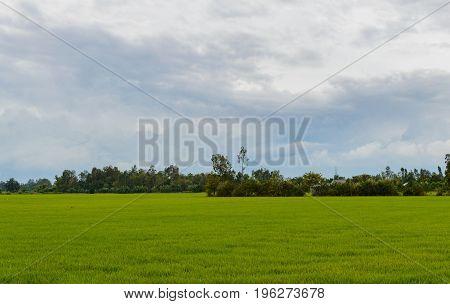 Rice Field In The Vietnam