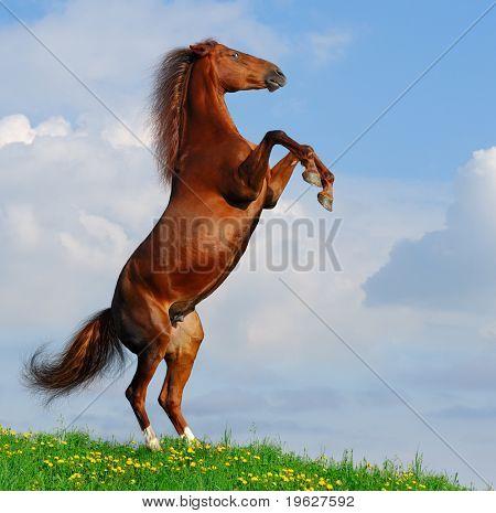 Sorrel horse rear on a hill