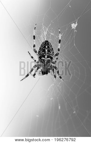 Black and white image with spider on canvas